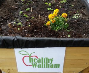 Container gardening at Waltham Housing Complex Summer 2015